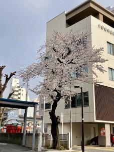 2021.3.26桜002