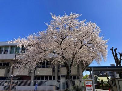 2021.3.29桜001