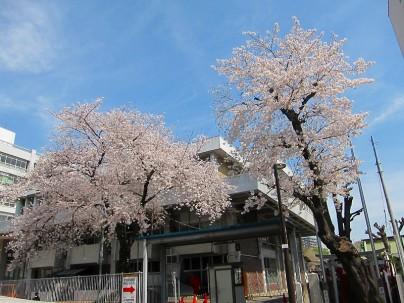 2021.3.27桜002