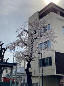 2021.3.25桜002
